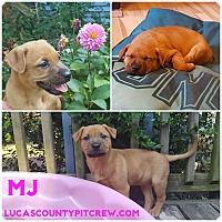 Adopt A Pet :: MJ - Sylvania, OH