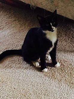 Domestic Mediumhair Kitten for adoption in Royal Palm Beach, Florida - Dolly