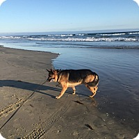 German Shepherd Dog Mix Dog for adoption in orange, California - marbre