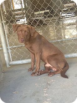 Labrador Retriever Mix Dog for adoption in Livingston Parish, Louisiana - Hodgens