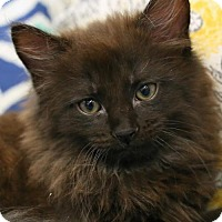 Adopt A Pet :: Oliver .T.  $85 Male Kitten - knoxville, TN