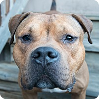 Pit Bull Terrier Mix Dog for adoption in Bristol, Connecticut - Hershel