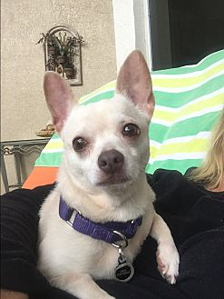 Chihuahua Mix Dog for adoption in Ft. Lauderdale, Florida - Sassy