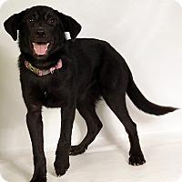 Adopt A Pet :: Chance (Lance) LabMix - St. Louis, MO