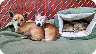 Chihuahua Mix Dog for adoption in Seattle, Washington - Pinky
