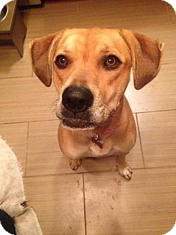 Labrador Retriever Mix Dog for adoption in Grafton, Wisconsin - Rumor
