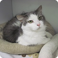 Domestic Longhair Cat for adoption in Fairfax, Virginia - Sterling