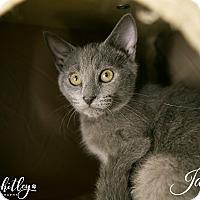 Russian Blue Kitten for adoption in Columbia, Tennessee - Jasper