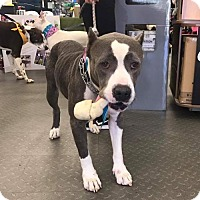 Pit Bull Terrier Dog for adoption in Mobile, Alabama - Dixie