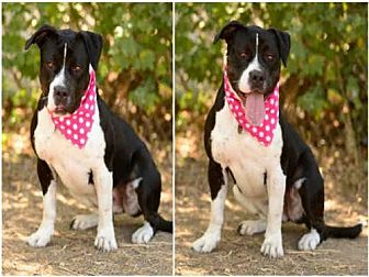 Greater Swiss Mountain Dog Mix Dog for adoption in Los Angeles, California - MAYA
