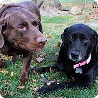 Labrador Retriever Dog for adoption in Cedar Rapids, Iowa - Sammy