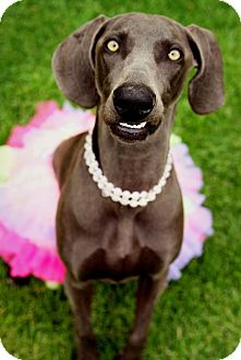 Weimaraner Dog for adoption in Rolling Hills Estates, California - Fay