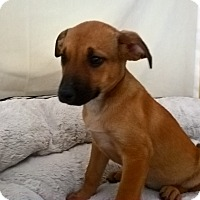 Adopt A Pet :: Jilly - Las Vegas, NV