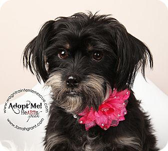 Schnauzer (Miniature)/Yorkie, Yorkshire Terrier Mix Dog for adoption in Omaha, Nebraska - Paige