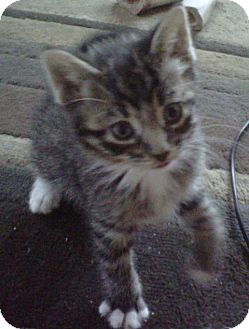 Domestic Shorthair Kitten for adoption in Woodstock, Ontario - Calvin