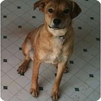 Adopt A Pet :: Brandi - Golden Valley, AZ