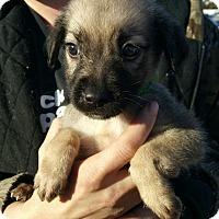 Adopt A Pet :: Linus - Ogden, UT