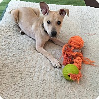 Adopt A Pet :: Tobin *adoption pending* - Manassas, VA