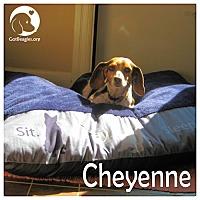 Adopt A Pet :: Cheyenne - Novi, MI