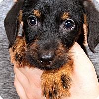 Adopt A Pet :: Bixby Wirehair Dash - St. Louis, MO
