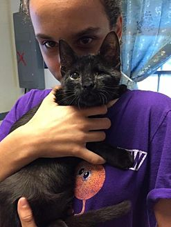 Domestic Shorthair Cat for adoption in Windsor, Connecticut - Little Jon