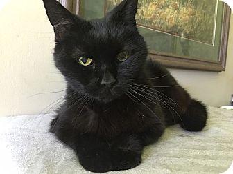 Domestic Shorthair Cat for adoption in Wilmington, North Carolina - Natalie