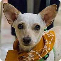 Chihuahua/Chihuahua Mix Dog for adoption in Grass Valley, California - Daisy 2
