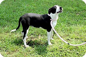 Border Collie Mix Puppy for adoption in Spring Valley, New York - JACKIE