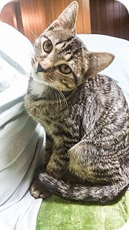 Domestic Shorthair Cat for adoption in St. Louis, Missouri - Yorrick