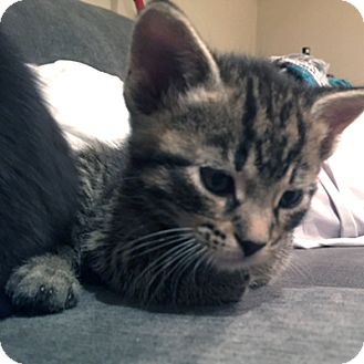 Domestic Shorthair Kitten for adoption in Mississauga, Ontario, Ontario - Cairo