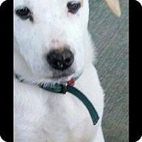 Labrador Retriever Mix Dog for adoption in Westminster, Colorado - Zeus