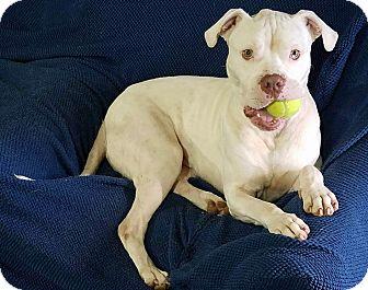 Boxer/American Bulldog Mix Dog for adoption in Conroe, Texas - Gunnar