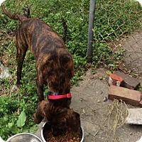 Plott Hound Mix Dog for adoption in Ardmore, Pennsylvania - Barney
