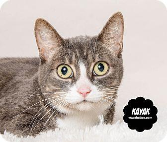 Domestic Shorthair Cat for adoption in Wyandotte, Michigan - Kayak