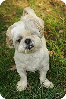 Lhasa Apso Dog for adoption in N. Babylon, New York - MacGuyver