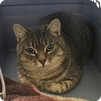 Adopt A Pet :: Collins- Barn Cat - Concord, NH