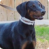 Adopt A Pet :: Hercules - Joplin, MO