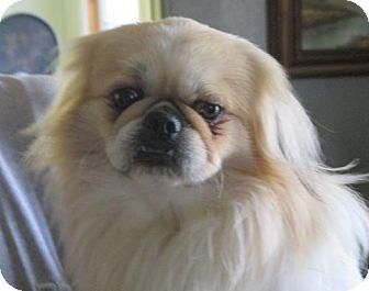 Pekingese Dog for adoption in Oakdale, Tennessee - Blaine