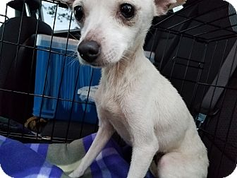 Chihuahua/Italian Greyhound Mix Dog for adoption in Danbury, Connecticut - Winter