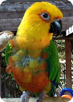 Conure for adoption in Mantua, Ohio - COSMO