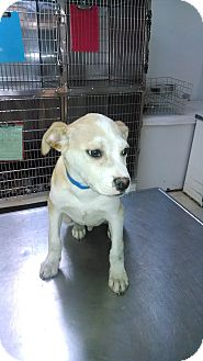 Labrador Retriever Mix Puppy for adoption in Waldorf, Maryland - Blake