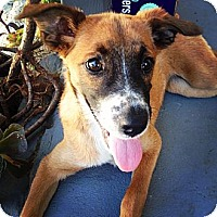 Adopt A Pet :: Twiggy - Torrance, CA