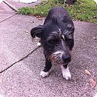 Adopt A Pet :: Sylvia - Peru, IN