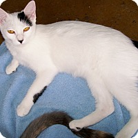 Adopt A Pet :: Ivory - Scottsdale, AZ