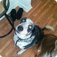 Adopt A Pet :: Stella - Conway, AR
