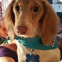 Adopt A Pet :: Sprinkles - Marcellus, MI