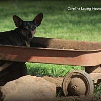 Adopt A Pet :: Bambi - Greenville, SC