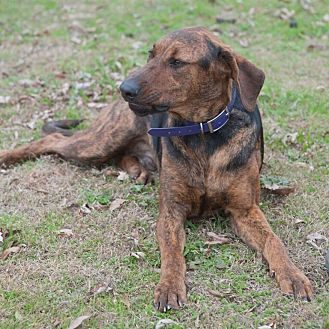 Plott Hound Mix Dog for adoption in Dallas, Texas - Quincy