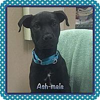 Adopt A Pet :: Ash (ETAA) - Harrisonburg, VA