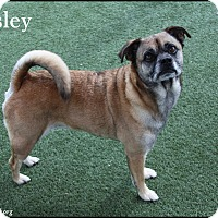 Adopt A Pet :: Pugsley - Rockwall, TX